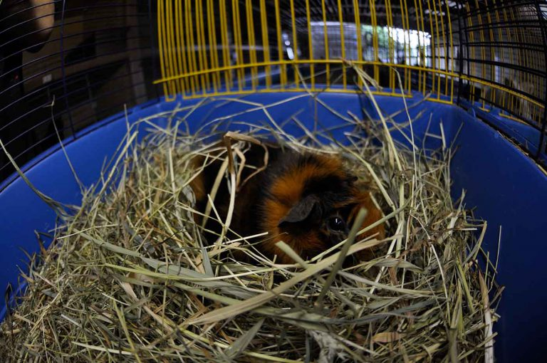 dpo dierenpension oosterhout cavia opvang knaagdier dierenopvang dierenhotel