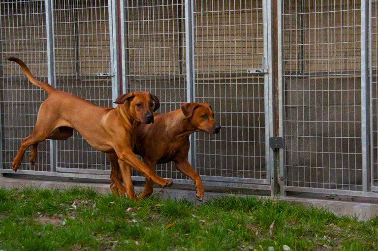 dpo dierenpension oosterhout hoden ridgeback rennen buiten spelen gast dierenhotel hondenpension dierenopvang