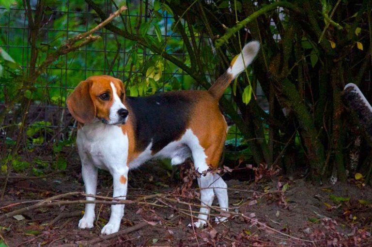 dpo dierenpension oosterhout hond beagle buiten staat kijkt hondenpension bezoeker
