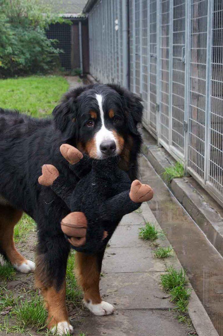 dpo dierenpension oosterhout hond berner sennen aap speeltje kijkt dierenhotel hondenpension dierenopvang