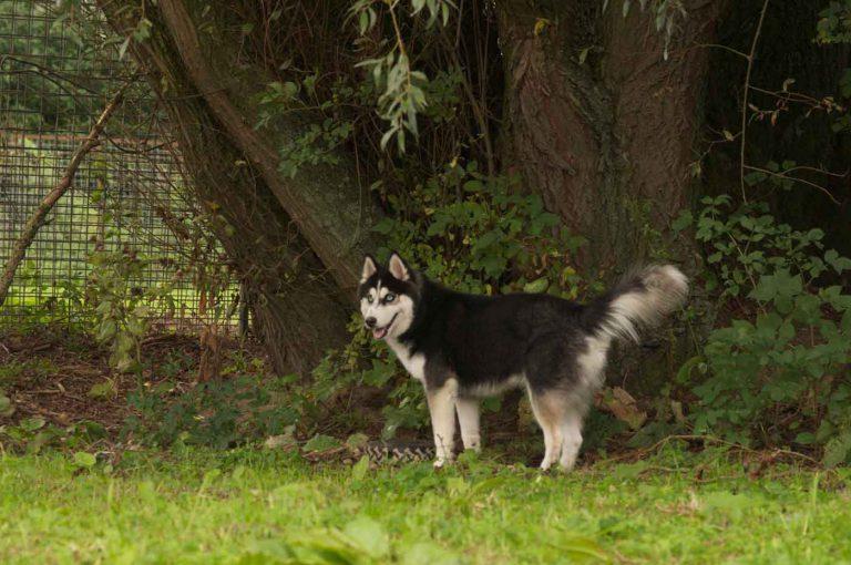 dpo dierenpension oosterhout hond boom wilg husky staat dierenhotel hondenpension dierenopvang