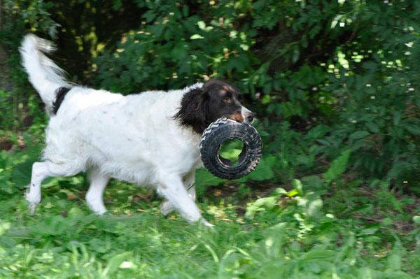 dpo dierenpension oosterhout hond buiten lopen spelen drentse patrijs band dierenhotel hondenpension dierenopvang