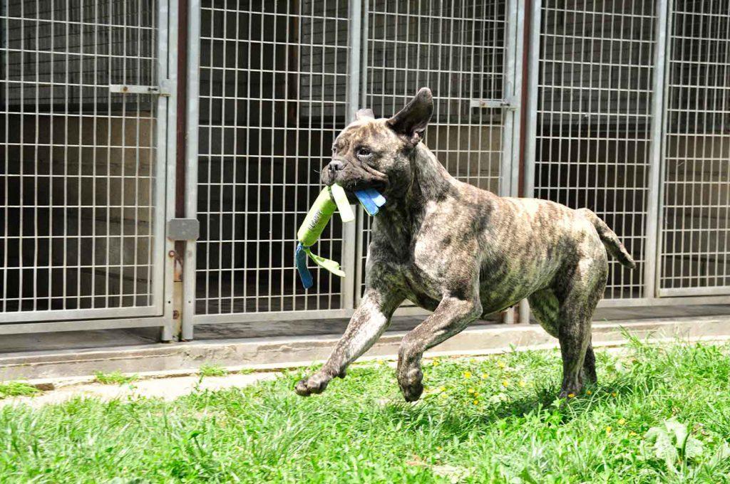 dpo dierenpension oosterhout hond bullmastiff rennen spelen buiten speeldveld dierenhotel hondenpension dierenopvang