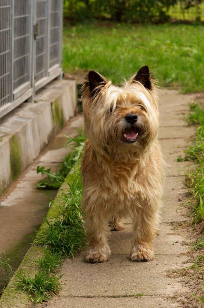 dpo dierenpension oosterhout hond cairn terrier staat speelveld dierenhotel hondenpension dierenopvang