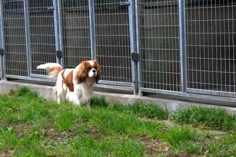 dpo dierenpension oosterhout hond cavalier king charles spaniel rennen buiten dierenhotel hondenpension dierenopvang