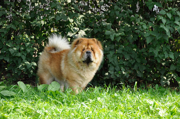 dpo dierenpension oosterhout hond chowchow buiten gras staan speelveld dierenhotel hondenpension dierenopvang