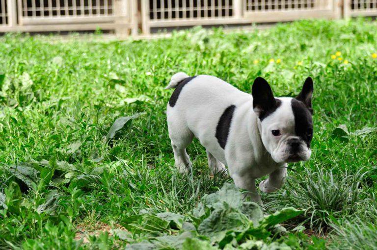 dpo dierenpension oosterhout hond franse bulldog pupy buiten gras dierenhotel hondenpension dierenopvang
