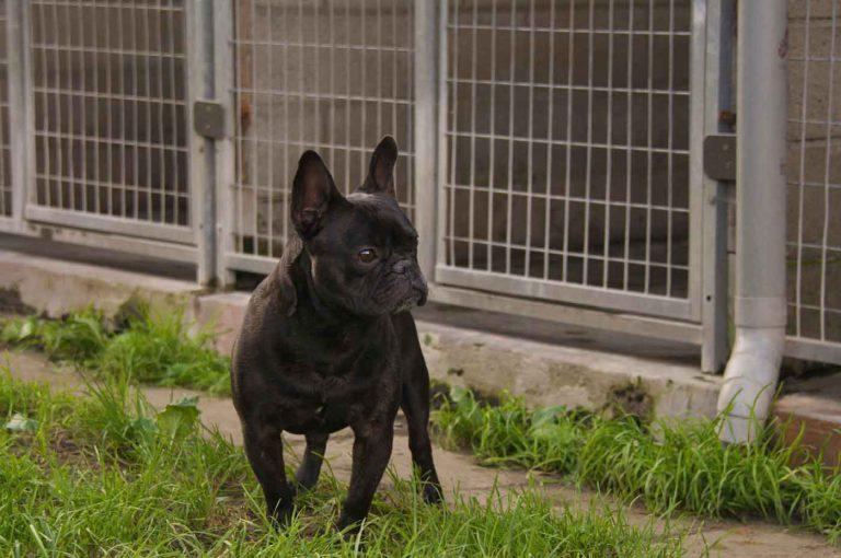 dpo dierenpension oosterhout hond franse bulldog speelveld gast dierenhotel hondenpension dierenopvang