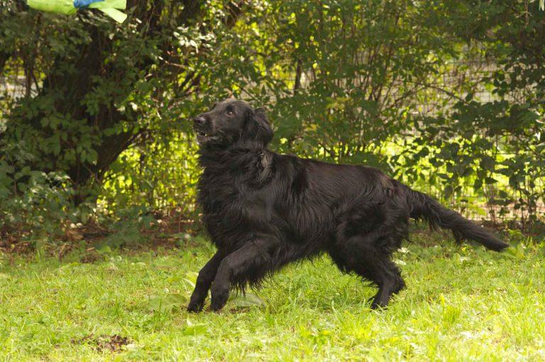 dpo dierenpension oosterhout hond hondenspeelveld flat coated retriever dierenhotel hondenpension dierenopvang