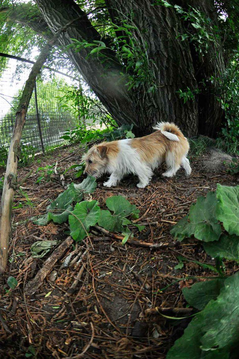 dpo dierenpension oosterhout hond jack russell terrier loopt boom dierenhotel hondenpension dierenopvang