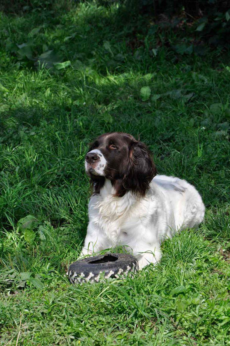 dpo dierenpension oosterhout hond ligt buiten drentse patrijshond band speeltje dierenhotel hondenpension dierenopvang