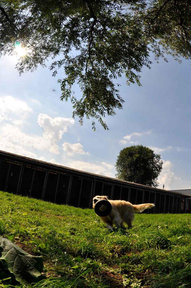 dpo dierenpension oosterhout hond rennen band hondenspeelgoed golden retriever dierenhotel hondenpension dierenopvang