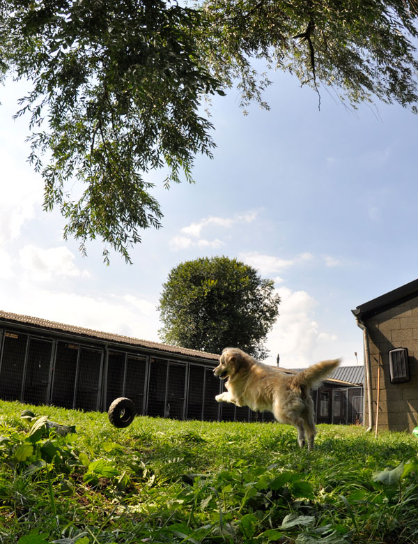 dpo dierenpension oosterhout hond rennen buiten speelwei golden retriever band springen spelen dierenhotel hondenpension dierenopvang