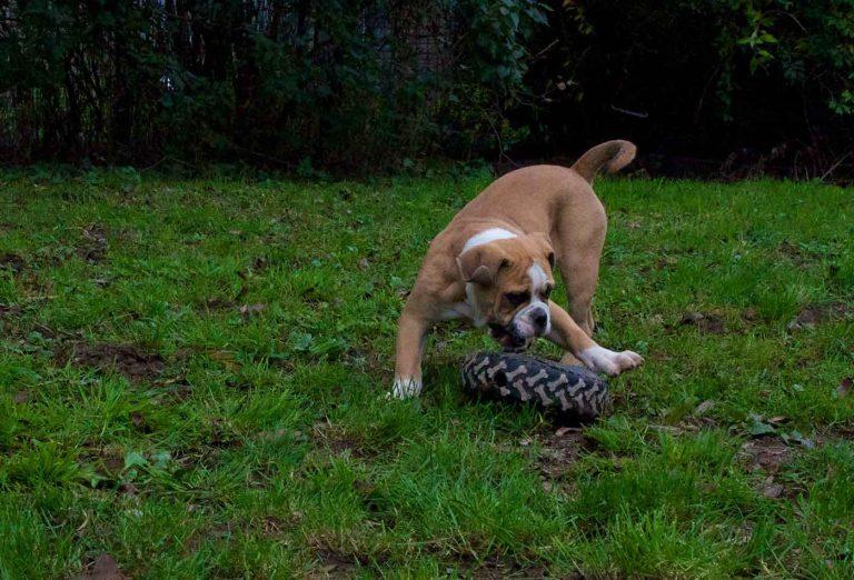 dpo dierenpension oosterhout hond speeld band bulldog old english dierenhotel hondenpension dierenopvang
