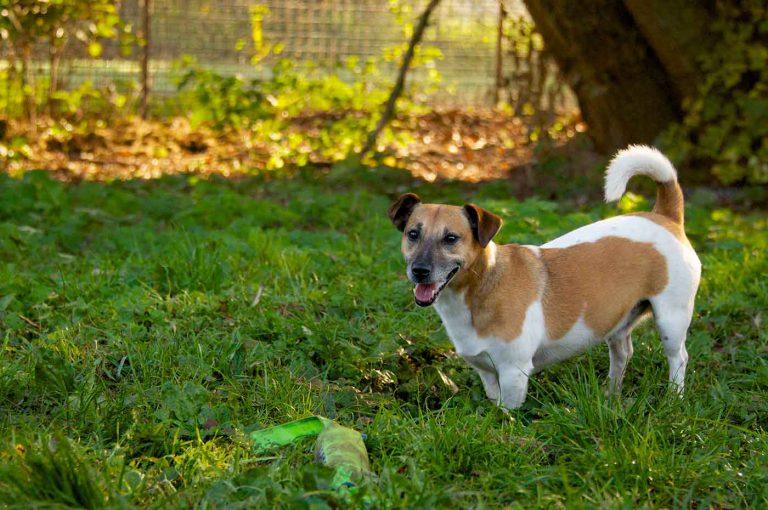 dpo dierenpension oosterhout hond spelen jack russell terrier gras buiten speelwei dierenhotel hondenpension dierenopvang