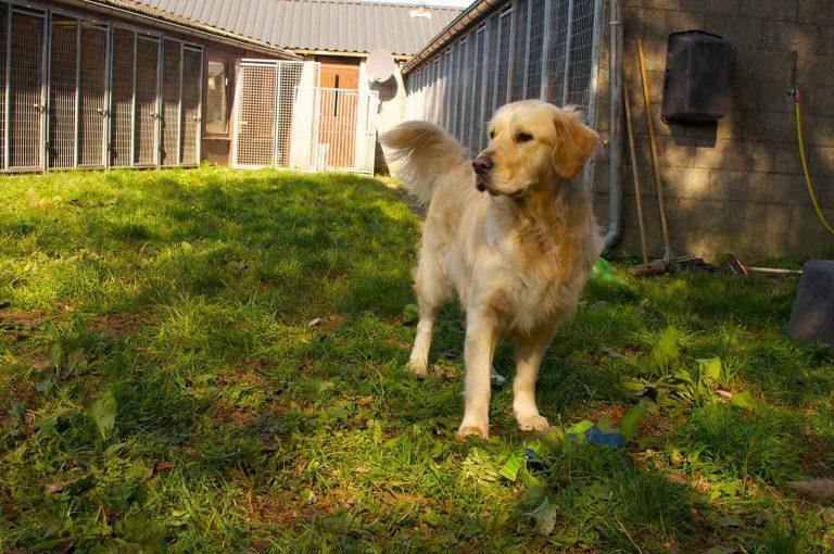 dpo dierenpension oosterhout hond staat golden retriever buiten kijkt dierenhotel hondenpension dierenopvang