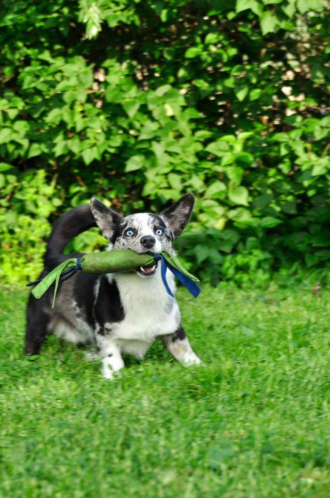 dpo dierenpension oosterhout hond welsh corgi speeltje spelen buiten dierenhotel hondenpension dierenopvang