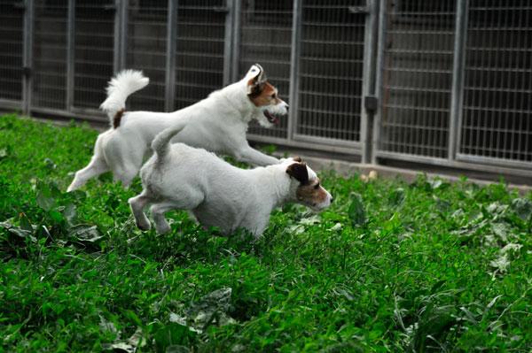 dpo dierenpension oosterhout honden jack russells rennen buiten speelwei dpo dierenpension oosterhout hond rennen buiten speelwei golden retriever band springen spelen dierenhotel hondenpension dierenopvang