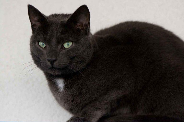 dpo dierenpension oosterhout kat blauwe rus kijkt zit dierenhotel kattenpension dierenopvang
