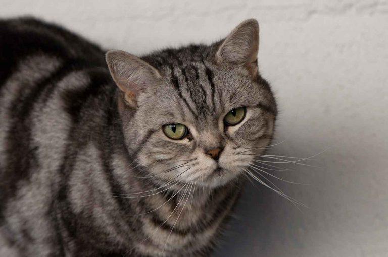dpo dierenpension oosterhout kat britse kort haar kijkt bezoeker dierenhotel kattenpension dierenopvang