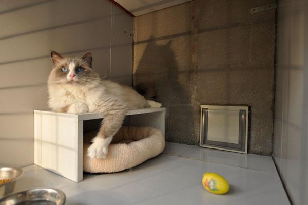 dpo dierenpension oosterhout kat ligt binnenverblijf ei ragdoll dierenhotel kattenpension dierenopvang