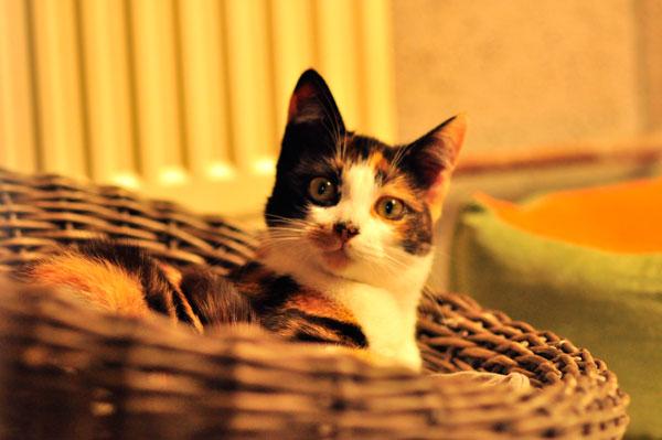 dpo dierenpension oosterhout kat ligt mandje lapjes dierenhotel kattenpension dierenopvang