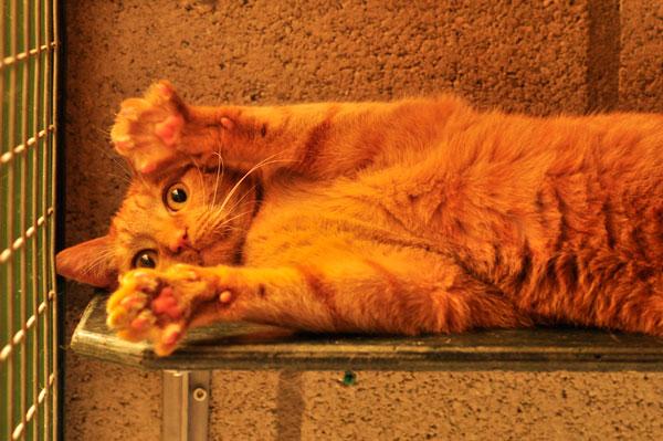dpo dierenpension oosterhout kat ligt rode kater speels plankjes dierenhotel kattenpension dierenopvang